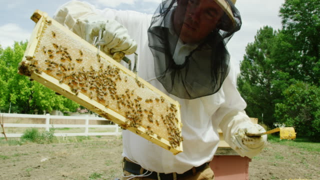 a caucasian beekeeper in his thirties wearing a beekeeping hat, a veil, and gloves uses a frame grip to remove a frame from a beehive outdoors - alveare video stock e b–roll