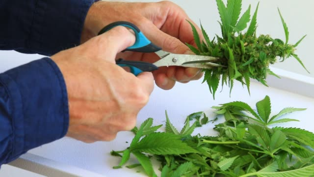 Caucasian Hand trimming and processing female Cannabis Marijuana Buds with a pair of scissors