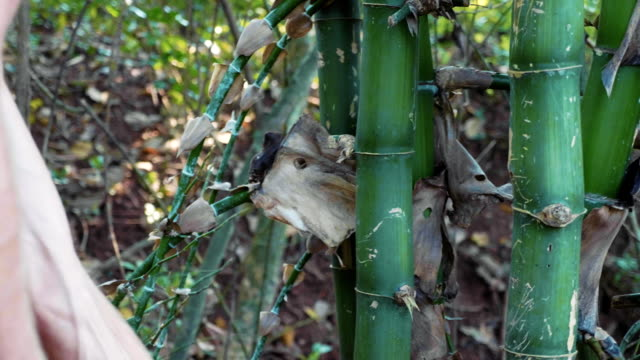 Caucasian man chops a bamboo with machete at the forest