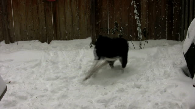 Caught hd 1080 footage of lab/border collie cross dog catching her tail tail stock videos & royalty-free footage
