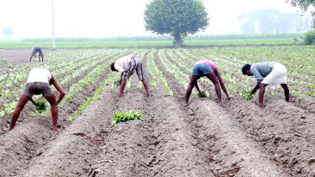 Cauliflower Crop Plantation Manual Workers planting Cauliflower Crop in the Field Located in Rural India. indian culture stock videos & royalty-free footage