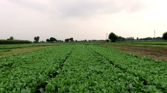 Cauliflower Sprouts ready for plantation HD1080p: Camera flying over to Cauliflower Sprouts which is ready for plantation, the field is located in Haryana, India. cabbage stock videos & royalty-free footage