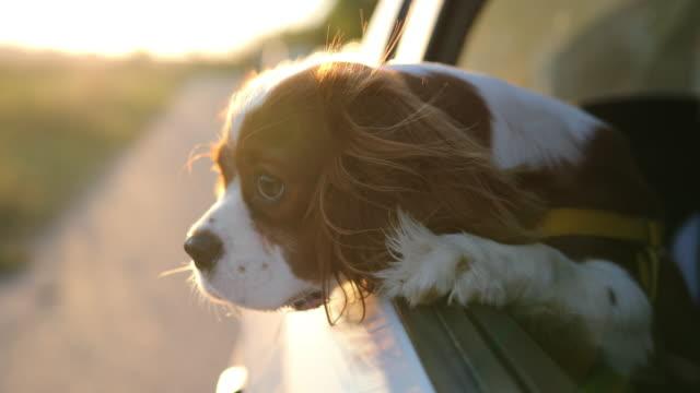 cavalier king charles spaniel  - dog car stock-videos und b-roll-filmmaterial