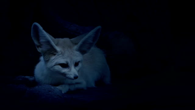 Cave Fox Listening Out For Danger In The Night video