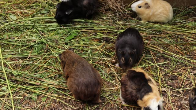 Cavia porcellus of different colors climbed out of their house, looking for the right stem of grass to eat. Lunch time is here. Feed yourself. domestic cavy look like otters