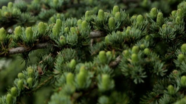 cederträd - fur bildbanksvideor och videomaterial från bakom kulisserna