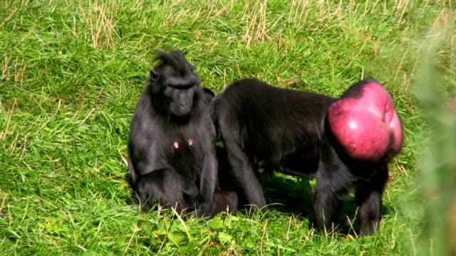 celebes crested macaque (macaca nigra) - makak maymunu stok videoları ve detay görüntü çekimi