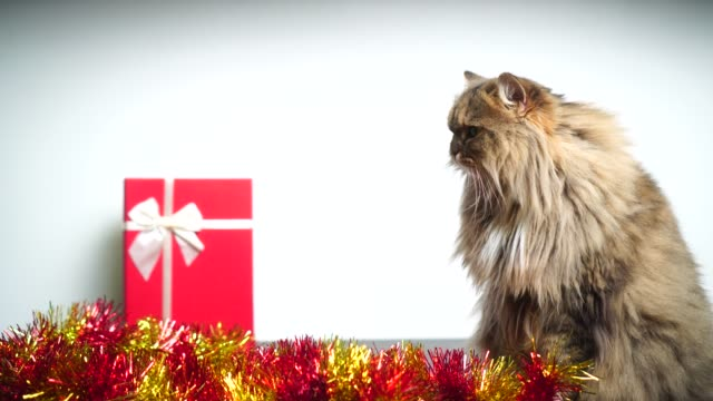 Celebrate Christmas with lovely Persian cat And a beautiful gift box : 4k video