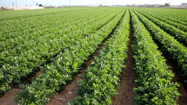 Celeriac plants on the field video