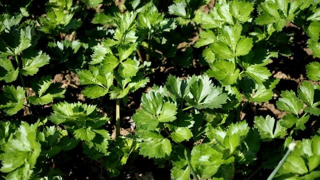 celery seedbed in the garden in hd - sedano video stock e b–roll