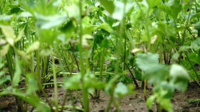 4k celery vegetable in raining season - sedano video stock e b–roll