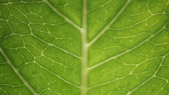 vídeos de stock, filmes e b-roll de visão da estrutura celular da superfície da folha mostrando células vegetais para educação. folha em fundo de tiro macro. folhas verdes brilhantes de planta ou árvore com textura e padrão close-up. - folha