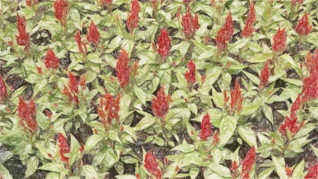 celosia argentea flower in nature garden