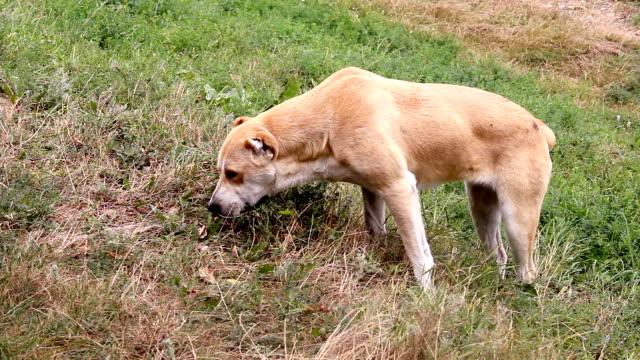 central asian shepherd dog - mandriano video stock e b–roll