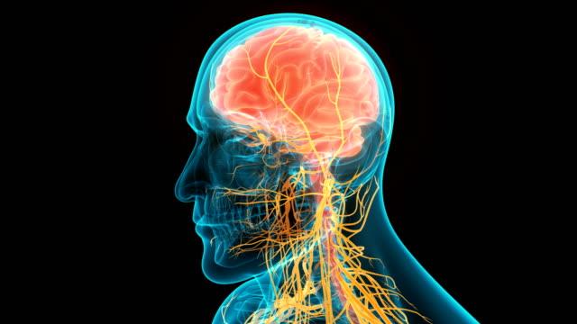 vídeos de stock e filmes b-roll de central organ of human circulatory system heart anatomy animation concept - cérebro humano
