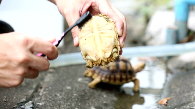 Centrochelys sulcata turtle cleaning by brush. video