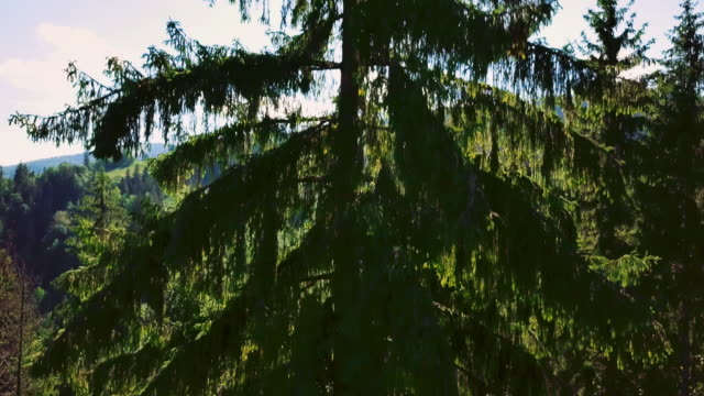 A century-old pine in the rays of sunlight. Spruce or pine on the background of mountains and sky. Take off over her close-up. Sun rays give freshness video