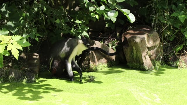 Cercopithecus diana sits on a stone and uses his paw to try to get to the clear water, fascinating by how the green coating quickly returns to its place. Diana monkey enjoys the warm weather by the water