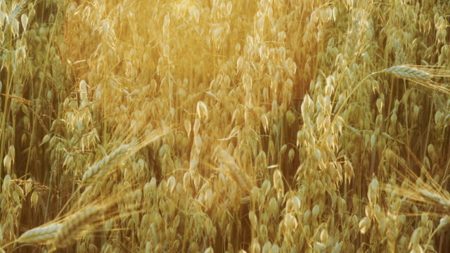 Cereal field at sunset. Oat, wheat and barley. Shot during golden hour . Location - Poland. video