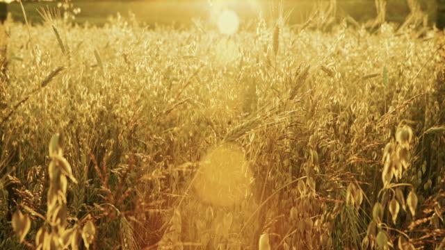 Zerealien Feld bei Sonnenuntergang. Hafer, Weizen, Gerste. Shot in golden Stunde. Lage-Polen. – Video