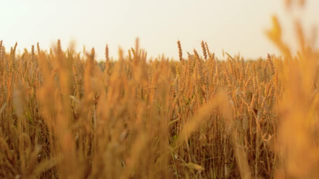 cereal field with spikelets of ripe wheat
