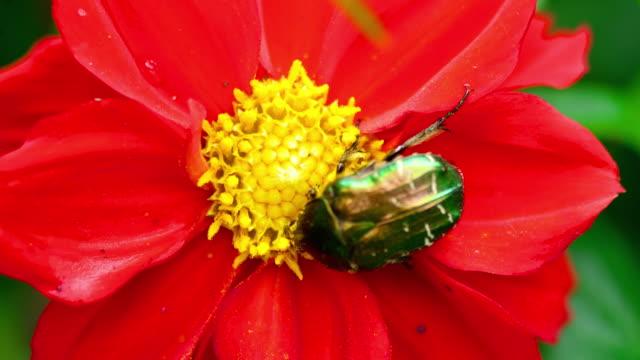 Cetonia Aurata on the Red Dahlia flower video