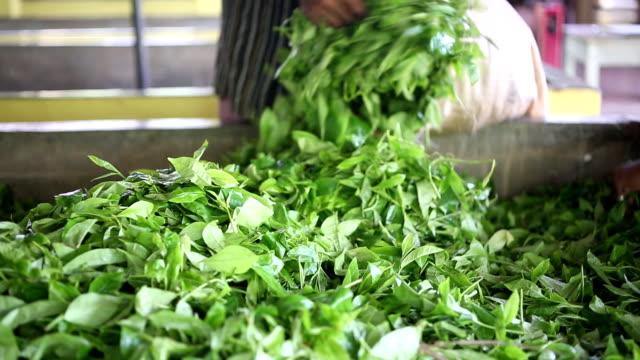vidéos et rushes de usine de thé de ceylan - thé boisson chaude