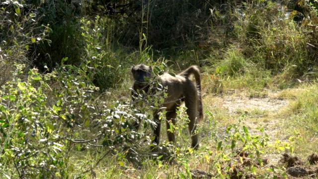 Chacma baboon etosha national park