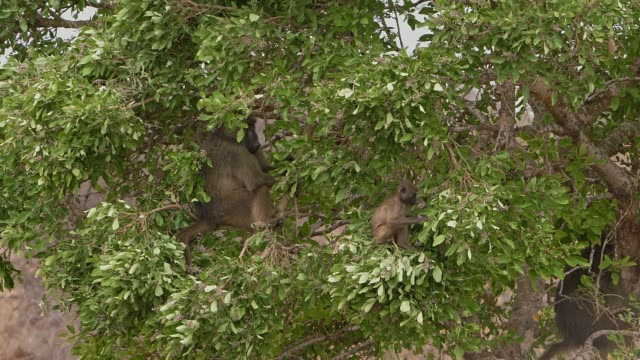 Chacma baboon in tree eating