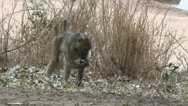 Chacma Baboon (Papio ursinus) searching for food