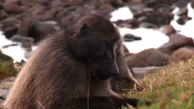 Chacma Baboons Chacma Baboons, also known as Cape baboons, grazing on grass and roots.  cape peninsula stock videos & royalty-free footage