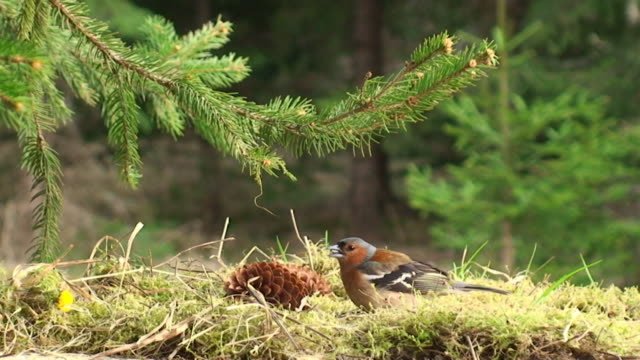 Chaffinch Feeding under the Spruce Tree video