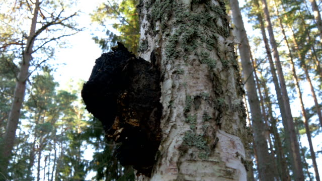 A chaga mushroom on a birch tree ビデオ
