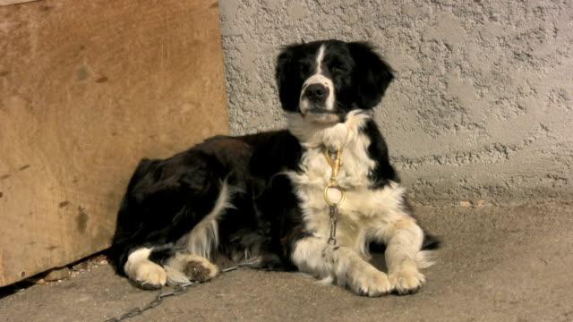cane a catena - cane addestrato video stock e b–roll