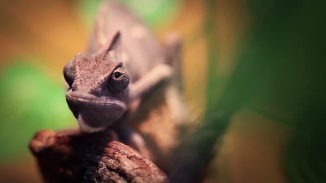 chameleon close up video: like a dinosaur - utdöd bildbanksvideor och videomaterial från bakom kulisserna