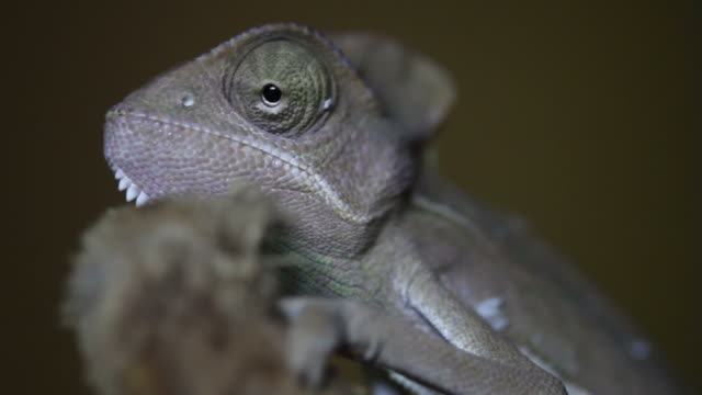 Chameleon close up video: like a Dinosaur video