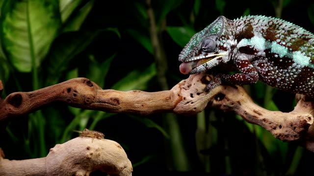 camaleonte mangia rallentatore - fare la lingua video stock e b–roll
