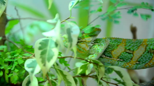 Chameleon is moving through the bushes Chameleon moves slowly through the green leaves camouflage clothing stock videos & royalty-free footage
