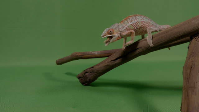 Chameleon lizard standing on a branch shooting out his extended tongue catching a worm to eat