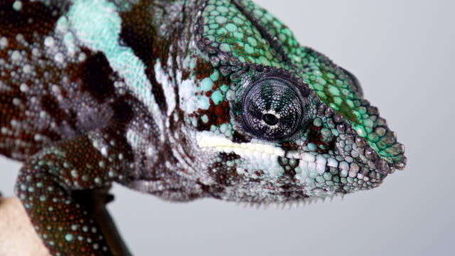 Chameleon Macro video