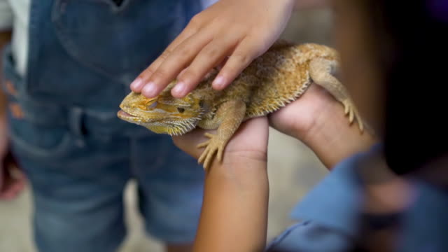 Chameleon on hands of little child girl in slow motion shot Chameleon on hands of little child girl in slow motion shot. Concept of self learning and love animal lifestyle. reptile stock videos & royalty-free footage