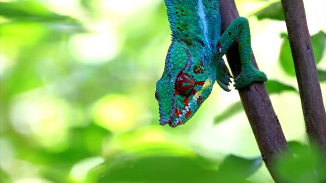 Chameleon on tree... Panther chameleon (Furcifer pardalis) video