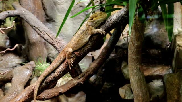 Chameleon on tree video