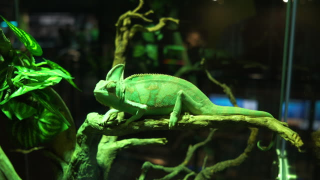 A chameleon perched on a branch