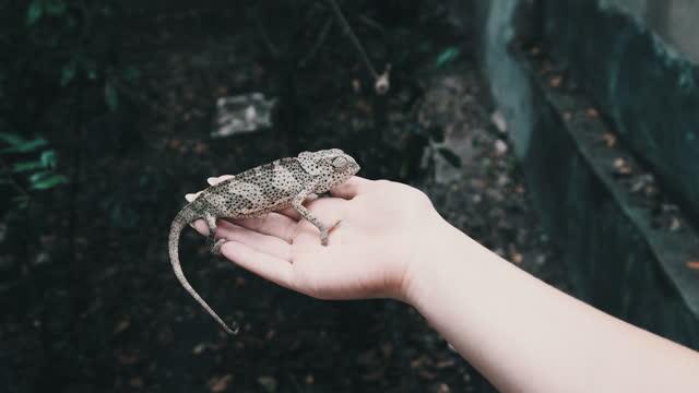 Chameleon Sitting on Female Hand, Woman Holds Funny Lizard in Palm, Zanzibar