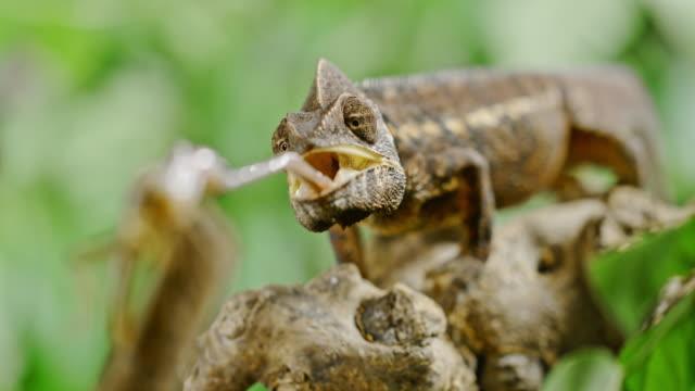 vidéos et rushes de super slo mo chameleon piège une sauterelle - reptile