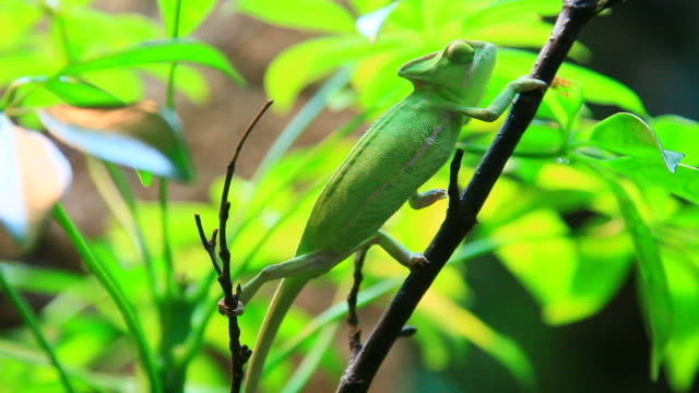 chameleon video