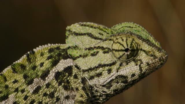 chameleon ビデオ