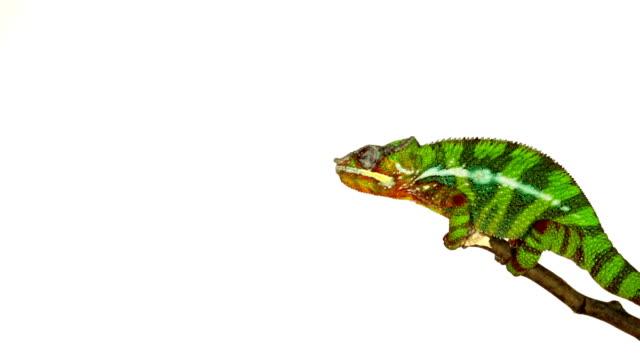 Chameleon stock videos