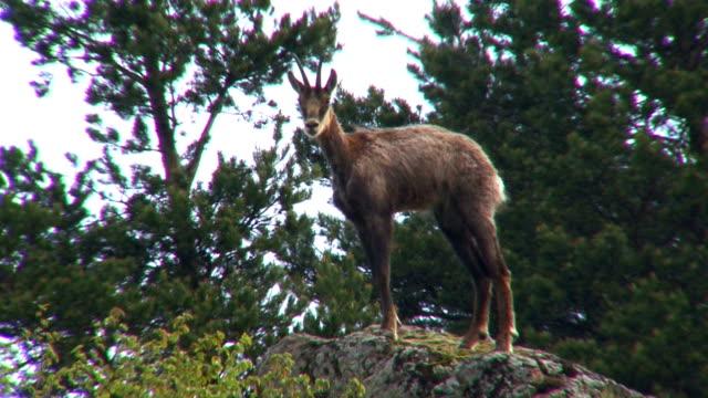 Chamois on mountain rocks video
